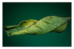 Leaf of an orange (Werner Demming) Tags: green blatt wernerd color mft microforthirds macro stacking leaf