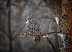 Boreal Phantom... (DTT67) Tags: winter bird nature minnesota canon wildlife raptor birdofprey canon5dmkiv 5dmkiv owl greatgrayowl ggo