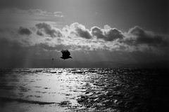 002085 (la_imagen) Tags: bodensee laimagen lakeconstanze lagodiconstanza lagodeconstanza raven rabe contrast kontrast sw bw blackandwhite siyahbeyaz monochrome mood winter reflection sky heaven cloud flying