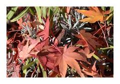 Tapis nippon sur fond provençal (RarOiseau) Tags: jardin feuille hautesalpes rouge macro érable lavande novembre automne