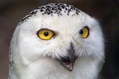 Snowy owl with open mouth (Tambako the Jaguar) Tags: snowyowl white owl bird close portrait face feathers openbeak eyes pretty beautiful hodonin zoo czechrepublic nikon d5