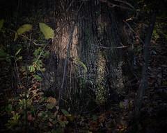 around a trunk, after long rain, 10-27-19 1 (wbhmatthies) Tags: around tree trunk leaves growth regrowth decay photopoem rain panasonic panasonics1 gcs1 captureone12pro wilhelmmatthies