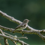 Spotted flycatcher at Forest Farm nature reserve, Cardiff
