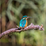 Kingfisher at Forest Farm nature reserve, Cardiff