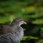 young moorhen at Forest Farm nature reserve, Cardiff