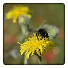 La gourmande ! (jmollien) Tags: flore fleur flowers jaune yellow fleurdeschamps insecte provencealpescôtedazur paca var bokeh nikond3400 macro macrophotographie
