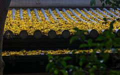 Roof & ginko leaves (tokyobogue) Tags: tokyo japan ikebukuro nikon nikond7100 d7100 sigma sigma1750mmexdcoshsm autumn leaves colours homyoji shrine shinto roof ginko