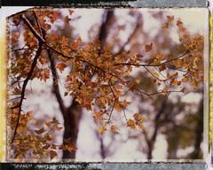 img139 res (Ngyuen Khoa) Tags: aeroektar speedgraphic fp100c autumn maple vietnam