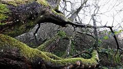 L'oeil du tronc (Un jour en France) Tags: canoneos6dmarkii canonef1635mmf28liiusm arbre forêt nature landscape paysage