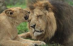 asiatic lion Blijdorp BB2A1421 (j.a.kok) Tags: animal asia azie asiaticlion aziatischeleeuw mammal zoogdier dier predator leeuw lion aapel blijdorp pantheraleopersica