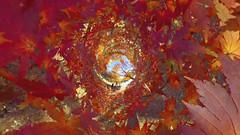 MOMIJI (ajpscs) Tags: ©ajpscs ajpscs 2019 japan nippon 日本 東京 tokyo tokyostreetphotography streetphotography insta360onex 360度カメラ 360°camera 360streetphotography lifein360 tokyo360 shinjuku 新宿 shinjukugyoennationalgarden 新宿御苑 autumn leaves aki 秋 momiji mapleleaves 紅葉 foliage autumncolor