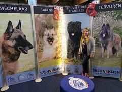 Belgian Breeds (Bergbos) Tags: bouvier des flandres dog show brussels kmsh srsh belgian breed