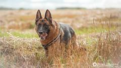 My Friend (Pauls Imaging) Tags: dog pet animal gsd germanshepherddog field grass canine landscape outdoors summer happy cute