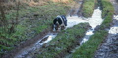 I think he was born in a puddle.Try large. (dave p brecks) Tags: sparkey springer spaniel englishspringerspaniel panasonicdmcg80 olympus75300