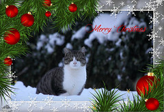 ❅ Merry Christmas ❅ (Xena*best friend*) Tags: georgeclooney merrychristmas cats whiskers feline katzen gatto gato chats furry fur pussycat feral tiger pets kittens kitty animals piedmontitaly piemonte canoneos760d italy wood woods wildanimals wild paws calico markings ©allrightsreserved purr digitalrebelt6s canonefs18135mmf3556isstm flickr outdoor animal pet photo merrychristmas2019 coth fantasticnature coth5