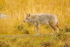 Fall colors (ChicagoBob46) Tags: coyote yellowstone yellowstonenationalpark nature wildlife coth5 ngc npc
