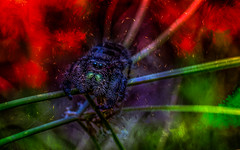 Eeeek it's the Christmas Spider! HSS (Dotsy McCurly) Tags: hss happysliderssunday jumpingspider spider bug nature beautiful adobephotoshop topaz art manipulation textures canoneos80d efs35mmf28macroisstm nj newjersey