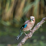 Jay at Forest Farm nature reserve, Cardiff