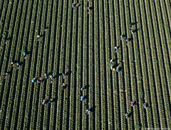 Farm workers picking crops near Salinas, California (Michael Layefsky) Tags: farmworkers agriculture fields crops aerial photograph salinas california