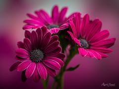 Bouquet (Magda Banach) Tags: nikond850 bouquet colors delicacy delicate flora flower green macro nature pink plants purple