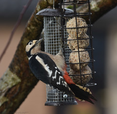 Spotted.....on the fat balls (Jason Prince Photography) Tags: nikon d7200 ladywell livingston west lothian jason prince photography december 2019 great spotted woodpecker british wildlife scotland sigma telephoto 150mm 600mm