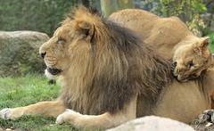 asiatic lion Blijdorp BB2A1455 (j.a.kok) Tags: animal asia azie asiaticlion aziatischeleeuw mammal zoogdier dier predator leeuw lion aapel blijdorp pantheraleopersica