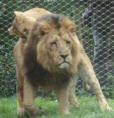 asiatic lion Blijdorp BB2A1613 (j.a.kok) Tags: animal asia azie asiaticlion aziatischeleeuw mammal zoogdier dier predator leeuw lion aapel blijdorp pantheraleopersica