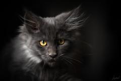 Aslan !!! (LACPIXEL) Tags: aslan penny pénélope chat cat gato kitten chaton gatito gatita mainecoon portrait retrato colour color couleur flickr lacpixel sony