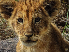 LITTLE SIMBA (eliewolfphotography) Tags: lion lions lionking lioncub animals african safari serengeti nature naturelovers nikon natgeo wildlife wildlifephotographer explore bigcats tanzania