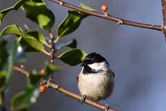 Coal tit (Deanne Wildsmith) Tags: bird staffordshire wolseleynaturecentre coaltit earthnaturelife