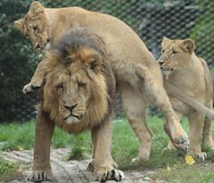 asiatic lion Blijdorp BB2A1632 (j.a.kok) Tags: animal asia azie asiaticlion aziatischeleeuw mammal zoogdier dier predator leeuw lion aapel blijdorp pantheraleopersica