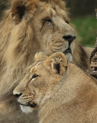 asiatic lion Blijdorp BB2A1274 (j.a.kok) Tags: animal asia azie asiaticlion aziatischeleeuw mammal zoogdier dier predator leeuw lion aapel blijdorp pantheraleopersica