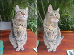 Key West Trip, November 11 to 20, 2019 3983-84 (edgarandron - Busy!) Tags: florida keywest floridakeys cat cats kitty kitties tabby tabbies coco