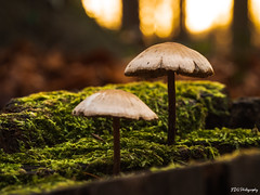 Mushroom growing on a tree stump covered with moss (bdg-photography) Tags: mushroom fungus tree wood forest twins close macro moss small micro microfourthirds closeup outside nature natur naturephotography