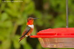 Allen's Hummingbird 19-9246 (Hans Spiecker Photography) Tags: allenshummingbird california mby