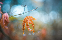 After rain (Dhina A) Tags: sony a7rii ilce7rm2 a7r2 a7r dukane 3inch f25 dukane3inchf25 vintage bokeh circlebokeh projector projection lens trioplan diaplan pentaconav winter dry leaf after rain wet drops