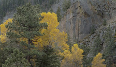 Canyon color (Rocky Pix) Tags: canyoncolor middle fork st vrain river highway morning backlit cottonwood ponderosa trees brush wood rock cliff autumn trekking applevalleyanteloperoad denverbotanicgardens pastoral lyons boulder county colorado foothills rockies rockypix rocky mountain pix wmichelkiteley f16 150thsec 27mm 1870mmf3545 nikkor normalzoom tripod