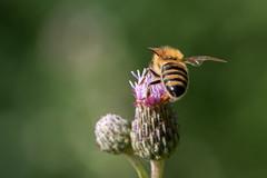 bee (Bea Antoni) Tags: canon makro macro closeup sommer summer nature natur insect insekt biene bee