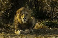 "The Mane Attraction  38W7244 (Dr DAD (Daniel A D'Auria MD)) Tags: lions ""bigcats"" ""cats"" lion animal mammal leone wildlife ""wildlifeofafrica"" ""wildlifeoftanzania"" ""nature"" ""wildlifephotography"" ""bigfive"" ""serengeti"" ""tanzania"" ""africa"" ""children'swildlifebooksbydanielad'auriamd"" ""danielad'auriamd"" ""drdadbooks"" ""march2014"" 2013 kenya ""maasaimara"" ""masaimara"" ""mara"" ""november2019"""