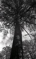 Leica M3  Mt. Lemmon033 (Linus BK) Tags: ilford delta leica m3 summicron trees arizona mountlemmon