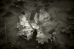Going Back To Earth (panos_adgr) Tags: nikon d850 leaf leaves water mud earth nature black white monochrome sepia travel winter