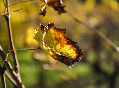 Golden Brown (panos_adgr) Tags: nikon d850 nature leaves winter