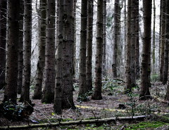 _into the wood (SpitMcGee) Tags: wald forest wood bäume trees fichten spruce spitmcgee