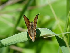 P1100110  Bronze Copper (birder2015 Toronto, Canada) Tags: bronzecopper butterfly lepidoptera insect