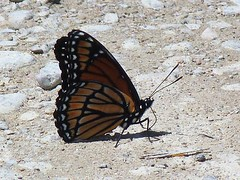 P1100335  Viceroy (birder2015 Toronto, Canada) Tags: viceroy butterfly lepidoptera insect