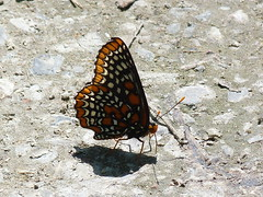 P1100412  Baltimore Checkerspot (birder2015 Toronto, Canada) Tags: baltimorecheckerspot butterfly lepidoptera insect