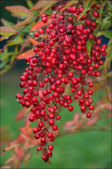 red ... and green ... (miriam ulivi - OFF/ON) Tags: miriamulivi nikond7200 nature bosco forest redberries baccherosse pioggia gocce rain drops nandinadomestica bambùsacro