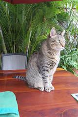 Key West Trip, November 11 to 20, 2019 3979Ri 4x6 (edgarandron - Busy!) Tags: florida keywest floridakeys cat cats kitty kitties tabby tabbies coco