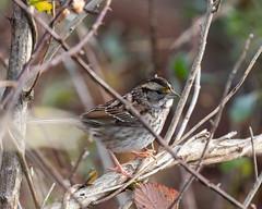 613A6659 (DavidMC92) Tags: canon eos 7d mark ii ef100400mm prime hook nwr national wildlife refuge delaware birds whitethroated sparrow