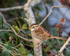613A6649 (DavidMC92) Tags: canon eos 7d mark ii ef100400mm prime hook nwr national wildlife refuge delaware birds whitethroated sparrow